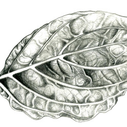 leaf-study